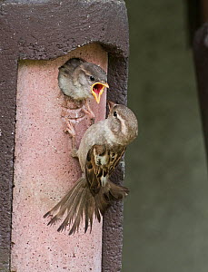 House sparrow (Passer domesticus) female feeding chick in nestbox at breeding colony Norfolk, UK May  -  David Tipling