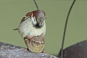 House sparrow (Passer domesticus) pair mating on top of nestbox at breeding colony, Norfolk, UK May  -  David Tipling