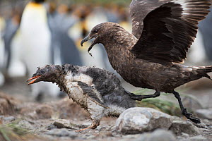 Brown skua (Stercorarius antarcticus) attacking a Gentoo penguin (Pygoscelis papua) chick that has wandered into a King penguin colony. Holmestrand, South Georgia - David Tipling