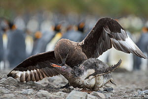 Brown skua (Stercorarius antarcticus) attacking a Gentoo penguin (Pygoscelis papua) chick that has wandered into a King penguin (Aptenodytes patagonicus) colony at Holmestrand, South Georgia, January - David Tipling