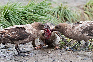 Brown skuas (Stercorarius antarcticus) attacking a Gentoo penguin (Pygoscelis papua) chick that has wandered into a King penguin colony at Holmestrand, South Georgia, January - David Tipling