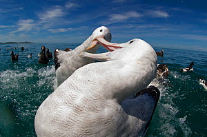 Gibson's albatross (Diomedea antipodensis gibsoni) fighting over food. Kaikoura, Southern Ocean, New Zealand.  -  David Tipling