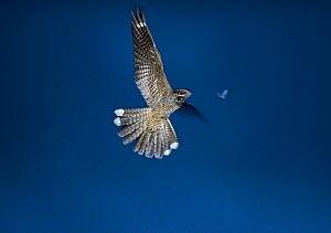 European nightjar (Caprimulgus europaeus) male hawking after a moth, Norfolk, UK July - David Tipling