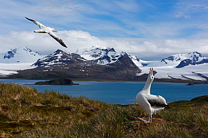 Wandering albatross (Diomedea exulans) calling to its mate as it flies past, Albatross Island in the Bay of Isles, South Georgia January  -  David Tipling