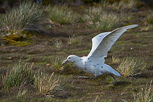 """Southern Giant petrel (Macronectes giganteus) adult light morph known as a """"Wjite Nelly"""" taking off Albatross Island, South Georgia January  -  David Tipling"""