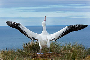 Wandering albatross (Diomedea exulans) displaying to bird flying overhead on Albatross Island, South Georgia, January  -  David Tipling