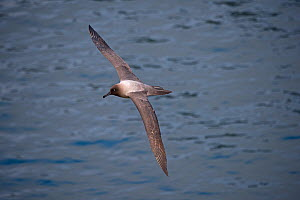 Light-mantled Sooty albatross (Phoebetria palpebrata) in flight over sea, Saddle Island, South Georgia, January  -  David Tipling