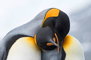 King penguins (Aptenodytes patagonicus) pair interacting, part of courtship, Gold Harbour South Georgia, January - David Tipling
