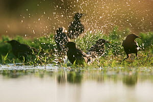 Spotless starlings (Sturnus unicolor) bathing in pool on hot day Belchite Spain, July  -  David Tipling