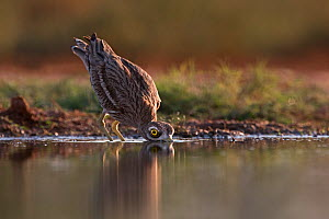 Eurasian Stone culew (Burhinus oedicnemus) drinking from pool in late evening light, Belchite Spain, July - David Tipling