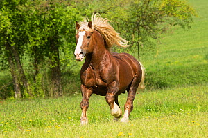 Suddeutsche stallion, a heavy draft horse, cantering in a field, Alfdorf, Swabian-Franconian Forest Nature Park, Germany. - Kristel  Richard