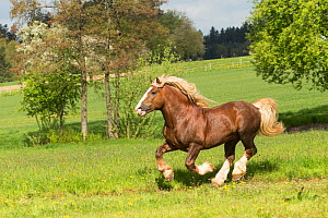 Suddeutsche stallion, a heavy draft horse, cantering in a field, Alfdorf, Swabian-Franconian Forest Nature Park, Germany. May 2016. - Kristel  Richard
