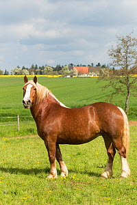 Suddeutsche mare, a heavy draft horse, standing alert in a field, Alfdorf, Swabian-Franconian Forest Nature Park, Germany. May 2016. - Kristel  Richard