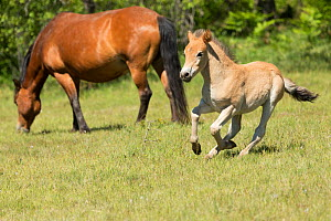Wild Gotland russ (the only pony native to Sweden) foal / colt running around his mother, Gotland Island, Sweden.  -  Kristel  Richard