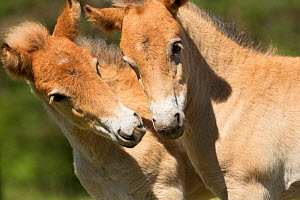 Wild Gotland russ (the only pony native to Sweden) foals / colts greeting one another, Gotland Island, Sweden.  -  Kristel  Richard