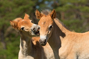 Two wild Gotland russ (the only pony native to Sweden) foals / colts playing together, Gotland Island, Sweden.  -  Kristel  Richard