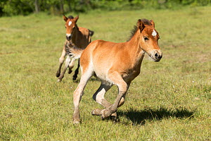 Wild Gotland russ (the only pony native to Sweden) foals / colts running one after the other, Gotland Island, Sweden.  -  Kristel  Richard