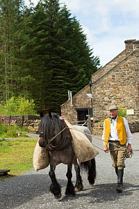 A lead miner leading his Dales pony, at Killhope Museum, near Cowshill, Upper Weardale, County Durham, England, UK, August. Critically endangered horse breed.  -  Kristel  Richard