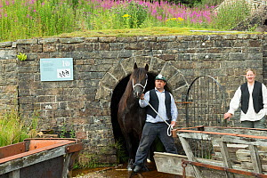 A lead miner leading his Dales pony out of a gallery, at Killhope Museum, near Cowshill, Upper Weardale, County Durham, England, UK, August. Critically endangered horse breed.  -  Kristel  Richard