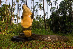 King cobra (Ophiophagus hannah), low wide angle perspective  Agumbe, Karnataka, Western Ghats, India. Vulnerable species  -  Yashpal Rathore