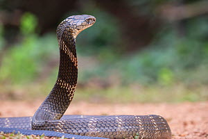 King cobra (Ophiophagus Hannah) with head raised, Agumbe, Karnataka, India. Venomous species. - Yashpal Rathore