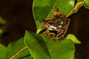 Malabar tree toad (Pedostibes tuberculosus), the only toad species which lives in a tree. Agumbe, Karnataka, India. Endangered and endemic species of Western Ghats  -  Yashpal Rathore