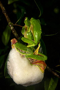 Malabar gliding frog (Rhacophorus malabaricus), pair in amplexus, building foam nest over water body. Coorg, Karnataka, India. Endemic to Western Ghats. - Yashpal Rathore