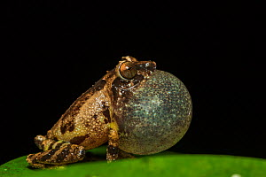 Anil's bush frog (Raorchestes anili) inflating vocal sac to attract mate, Endemic to Western Ghats.  Coorg, Karnataka, India. - Yashpal Rathore