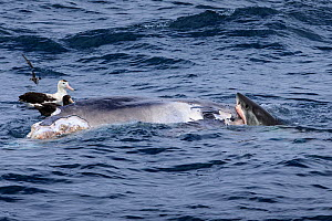 Great white shark (Carcharodon carcharias) and two Northern giant petrel (Macronectes halli) feeding on a recently deceased Humpback whale (Megaptera novaeangliae) calf, around six metres long off the...  -  Richard Robinson