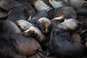 New Zealand sea lion (Phocarctos hookeri) pups huddle for warmth at the Sandy Bay colony, Enderby Island, Auckland Islands archipelago, New Zealand. - Richard Robinson