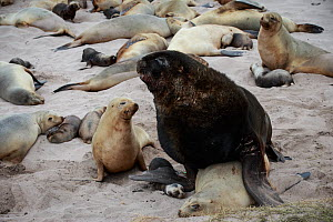 New Zealand sea lion (Phocarctos hookeri) pup is crushed under male's flipper and later dies from the injuries sustained by mating adults at the Sandy Bay colony, Enderby Island, Auckland Islands arch...  -  Richard Robinson