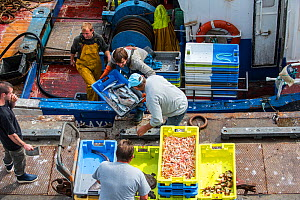 Fishermen on board of trawler fishing boat unloading catch along quay of the fish auction market, Brittany, France. September 2015  -  Philippe Clement