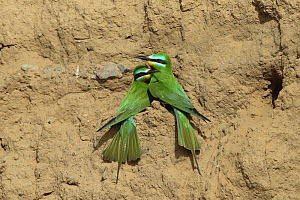 Blue cheeked bee eater (Merops persicus) pair in colony, Oman, April  -  Hanne & Jens Eriksen