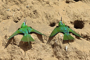 Blue cheeked bee eater (Merops persicus) two sunning, Oman, April  -  Hanne & Jens Eriksen