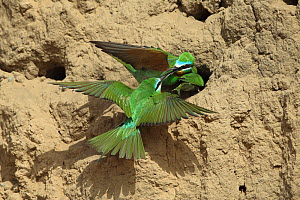 Blue cheeked bee eater (Merops persicus) fighting between pair at nesthole and intruder, Oman, April  -  Hanne & Jens Eriksen