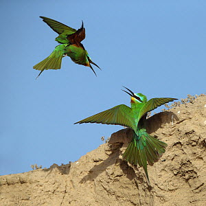 Blue cheeked bee eater (Merops persicus) two squabbling, Oman, April  -  Hanne & Jens Eriksen