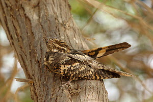 European nightjar (Caprimulgus europaeus) on tree trunk, Oman, April - Hanne & Jens Eriksen