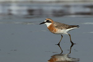 Greater sand plover (Charadrius leschenaultii) getting into breeding plumage, Oman, February - Hanne & Jens Eriksen