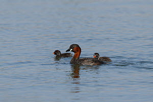 Little grebe (Tachybaptus ruficollis) adult with chicks, Oman, February  -  Hanne & Jens Eriksen