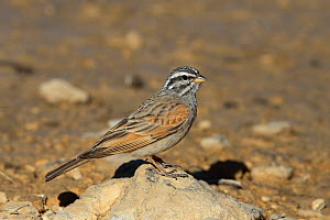 Striolated bunting (Emberiza striolata) on small rock, Oman, February - Hanne & Jens Eriksen
