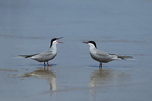 White cheeked tern (Sterna repressa) two in shallow water, Oman, May - Hanne & Jens Eriksen