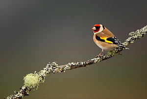 RF- Goldfinch (Carduelis carduelis) perched on branch. Worcestershire, UK. February . (This image may be licensed either as rights managed or royalty free.) - Danny Green