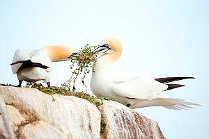 RF- Gannets (Morus) with nesting material. Great Saltee, County Wexford, Ireland. April . (This image may be licensed either as rights managed or royalty free.) - Danny Green