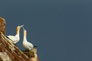 RF- Gannets (Morus) displaying, Great Saltee, County Wexford, Ireland. April . (This image may be licensed either as rights managed or royalty free.) - Danny Green