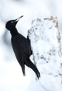 RF- Black Woodpecker (Dryocopus martius) in snow perched on tree stump. Finland. February . (This image may be licensed either as rights managed or royalty free.) - Danny Green