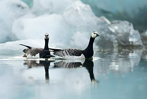 RF- Barnacle Geese (Branta leucopsis) among ice. Jokulsarlon Glacier, Iceland. June . (This image may be licensed either as rights managed or royalty free.)  -  Danny Green