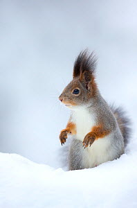 RF- Red Squirrel (Sciurus vulgaris) in snow. Finland. February . (This image may be licensed either as rights managed or royalty free.) - Danny Green