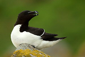 RF- Razorbill (Alca torda) resting on rocks. Great Saltee Island, County Wexford, Ireland. April. (This image may be licensed either as rights managed or royalty free.)  -  Danny Green