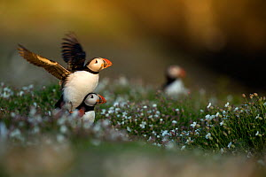 RF- Puffins (Fratercula) displaying. Skomer Island, Wales, UK. April. (This image may be licensed either as rights managed or royalty free.) - Danny Green