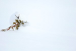 RF- Ptarmigan (Lagopus muta) feeding on Juniper. Finland. February . (This image may be licensed either as rights managed or royalty free.) - Danny Green
